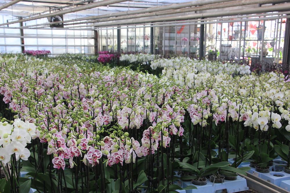 Elita lanceert een online orchideeënverkoop voor moederkesdag